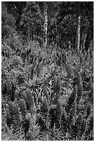 Pride of Madera flowers and eucalyptus trees, Golden Gate Park. San Francisco, California, USA (black and white)