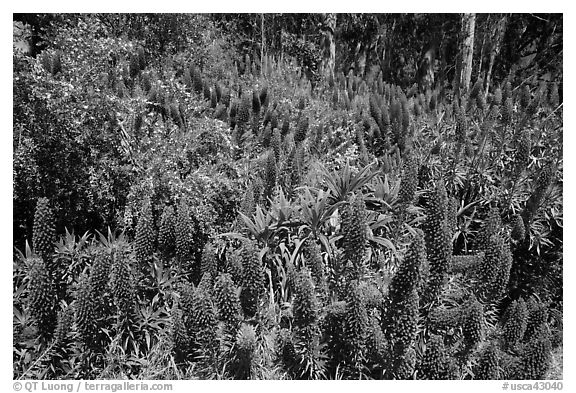 Pride of Madera flower (Echium sp.) and Eucalyptus grove, Golden Gate Park. San Francisco, California, USA (black and white)