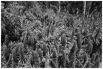 Pride of Madera flower (Echium sp.) and Eucalyptus grove, Golden Gate Park. San Francisco, California, USA ( black and white)
