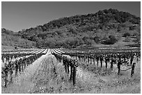 Vineyard and mustard flowers blooming in spring. Napa Valley, California, USA (black and white)