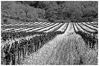 Vineyard in spring with yellow mustard flowers. Napa Valley, California, USA (black and white)