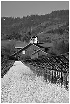 Winery landscape in spring. Napa Valley, California, USA (black and white)