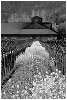 Spring mustard flowers and winery. Napa Valley, California, USA (black and white)