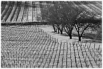 Vineyard in spring seen from above. Napa Valley, California, USA ( black and white)