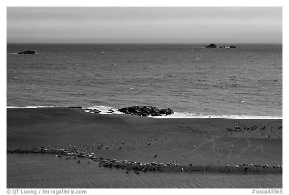 Marine mammals on sand spit from above, Jenner. Sonoma Coast, California, USA