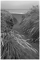 Path amongst dune grass and Ocean, Manchester State Park. California, USA ( black and white)