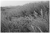 Tall grasses and fog, Manchester State Park. California, USA ( black and white)
