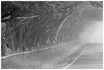 Rural road in fog. California, USA ( black and white)