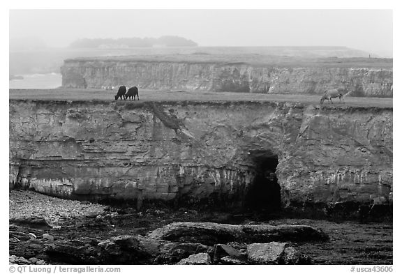 Coastal cliffs and cows in fog. California, USA (black and white)
