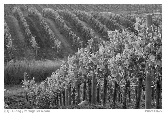 Wine grape vines in vineyard in fall. Napa Valley, California, USA (black and white)