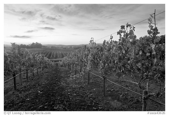 Autumn Sunset over vineyard. Napa Valley, California, USA (black and white)
