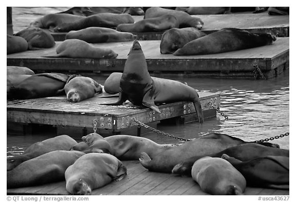 California Sea lions, pier 39, Fishermans wharf. San Francisco, California, USA (black and white)