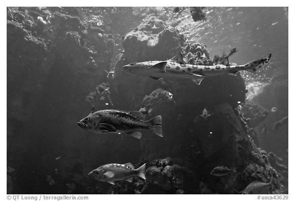 Northern California fish, Steinhart Aquarium,  California Academy of Sciences. San Francisco, California, USA (black and white)