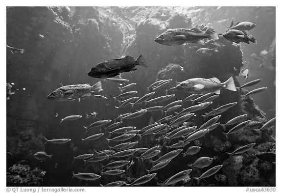 School of fish, Steinhart Aquarium,  California Academy of Sciences. San Francisco, California, USA (black and white)