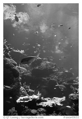 Philippine Coral Reef exhibit, Steinhart Aquarium, California Academy of Sciences. San Francisco, California, USA (black and white)