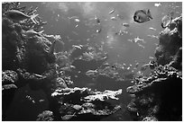 Tropical fish, Philippine Coral Reef exhibit, Steinhart Aquarium, California Academy of Sciences. San Francisco, California, USA ( black and white)