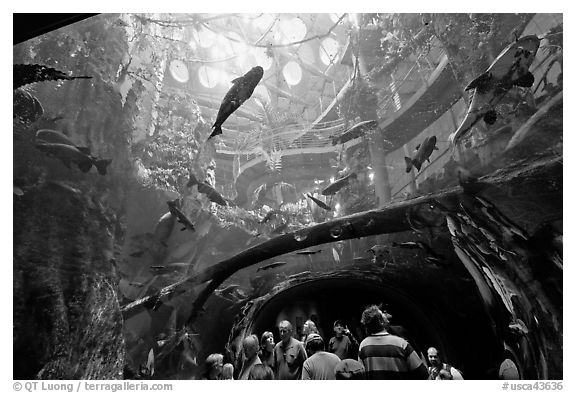 Tourists gaze upwards at flooded Amazon forest and huge catfish, California Academy of Sciences. San Francisco, California, USA (black and white)