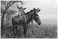 Zebras in savanah landscape,  Kimball Natural History Museum, California Academy of Sciences. San Francisco, California, USA<p>terragalleria.com is not affiliated with the California Academy of Sciences</p> (black and white)