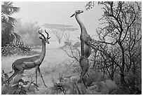 Gazelles diorama, Kimball Natural History Museum, California Academy of Sciences. San Francisco, California, USA ( black and white)