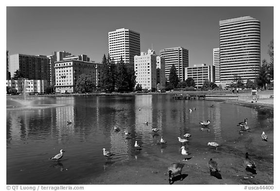 Ducks in Lake Merritt, a large tidal lagoon. Oakland, California, USA (black and white)