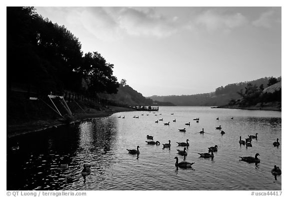 Large flock of ducks at sunset, Lake Chabot, Castro Valley. Oakland, California, USA (black and white)