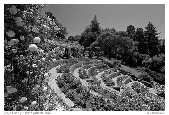 Municipal Rose Garden. Berkeley, California, USA (black and white)