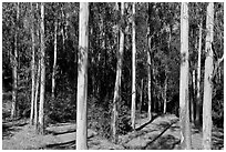 Eucalyptus grove, Tilden Regional Park. Berkeley, California, USA ( black and white)