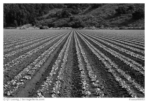 black and white picture photo vegetable crops watsonville california usa. Black Bedroom Furniture Sets. Home Design Ideas