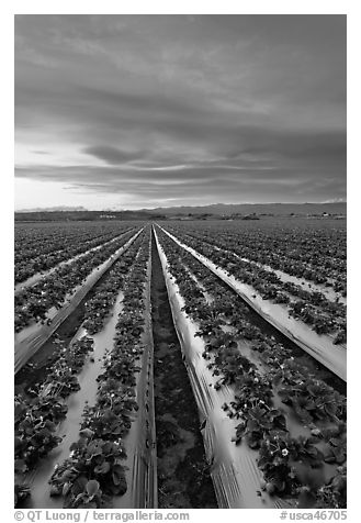 Strawberry plasticulture, sunset. Watsonville, California, USA (black and white)