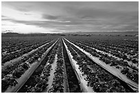 Strawberry field. Watsonville, California, USA ( black and white)