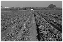 Strawberry farm. Watsonville, California, USA ( black and white)