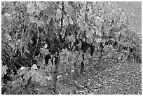 Row of wine grapes in autumn. Napa Valley, California, USA (black and white)