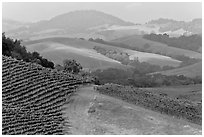 Vineyard and hazy hills. Napa Valley, California, USA ( black and white)