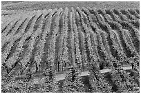 Rows of wine grapes in autumn colors. Napa Valley, California, USA (black and white)
