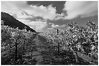 Rows of wine grapes with yellow leaves in autumn. Napa Valley, California, USA (black and white)