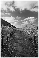 Rows of wine grapes with golden leaves in fall. Napa Valley, California, USA (black and white)