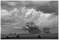 Cows, oak trees, and clouds. California, USA (black and white)