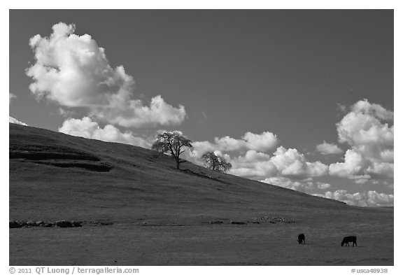 Hillside with clouds, trees, and cows. California, USA (black and white)