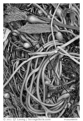 Beached kelp close-up. Point Lobos State Preserve, California, USA (black and white)