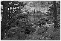 Cypress and wildflowers framing a cove. Point Lobos State Preserve, California, USA ( black and white)