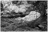 Monterey Cypress, wildflowers, and cove. Point Lobos State Preserve, California, USA ( black and white)