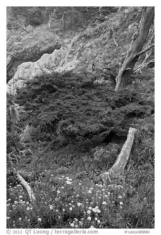 Flowers and cypress. Point Lobos State Preserve, California, USA (black and white)