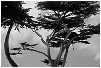 Monterey Cypress and sky, Lovers Point. Pacific Grove, California, USA ( black and white)