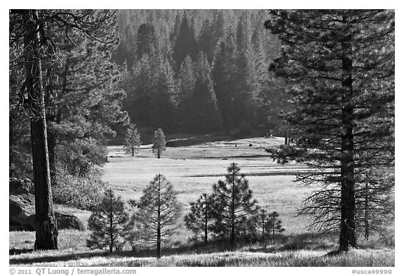 Meadow framed by pines, Giant Sequoia National Monument near Kings Canyon National Park. California, USA (black and white)