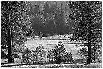 Meadow framed by pines, Giant Sequoia National Monument near Kings Canyon National Park. California, USA ( black and white)