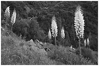 Blooming Yucca near Yucca Point, Giant Sequoia National Monument near Kings Canyon National Park. California, USA ( black and white)
