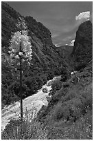 Yucca in bloom and Kings River in steep section of Kings Canyon, Giant Sequoia National Monument near Kings Canyon National Park. California, USA ( black and white)