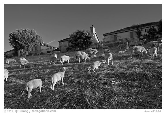 Sheep grazing below houses, Silver Creek. San Jose, California, USA (black and white)