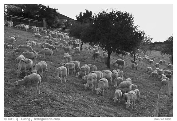 Herd of sheep, Silver Creek. San Jose, California, USA (black and white)