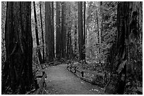 Trail through Cathedral Grove. Muir Woods National Monument, California, USA (black and white)